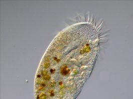 Reprodução assexuada, organismo, divisão